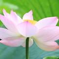 白山神社の蓮の花