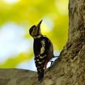 写真: アカゲラ巣立ち雛2