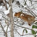 写真: 巣穴に入ろうとしているキタキツネ