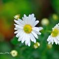 写真: 小菊