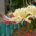 写真: 白いヒガンバナ