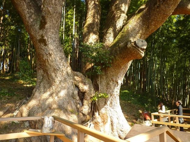 越生町 クスノキの巨木2