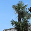 棕櫚は元気なり