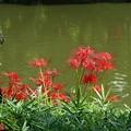 庭園の池ノ端に咲く 彼岸花