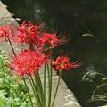 小石川庭園の曼珠沙華