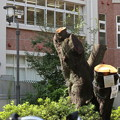 ソメイヨシノの古木も伐採されて・・