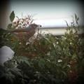 南天の実を食べにきたヒヨドリ