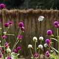 写真: 蝶と千日紅