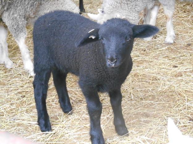 真っ黒子羊