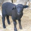 写真: 真っ黒子羊