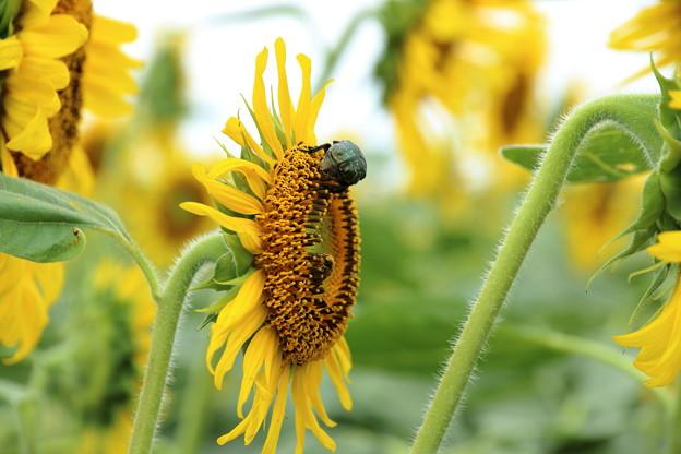 蜂と向日葵とハナムグリと