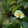 Photos: 白椿