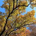 Photos: 欅の輝き