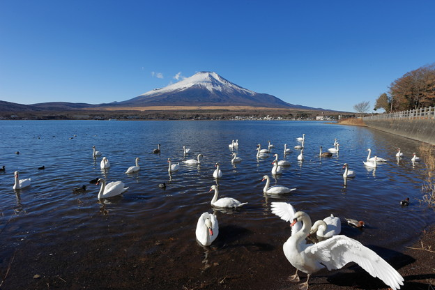 写真: 富士と白鳥3