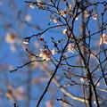 夕方の十月桜