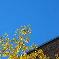 写真: Gingko in the Sky 11-08-14