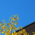 Gingko in the Sky 11-08-14