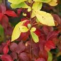 Kousa Dogwood and Yellow Leaves 11-9-14