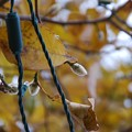 Photos: Merril Magnolia Flower Buds and the LED Lights 11-09-14