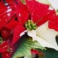 Poinsettia in Three Colors 12-20-14