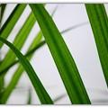 写真: Majesty Palm 2-1-15