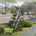 My Norfolk Island Pine 9-15-17