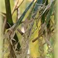 写真: Parker's Giant Bamboo 10-1-17