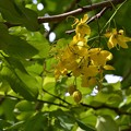 Golden Shower Tree 9-3-17