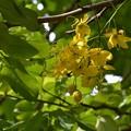 写真: Golden Shower Tree 9-3-17