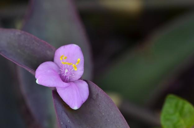 Purple Queen I 10-1-17