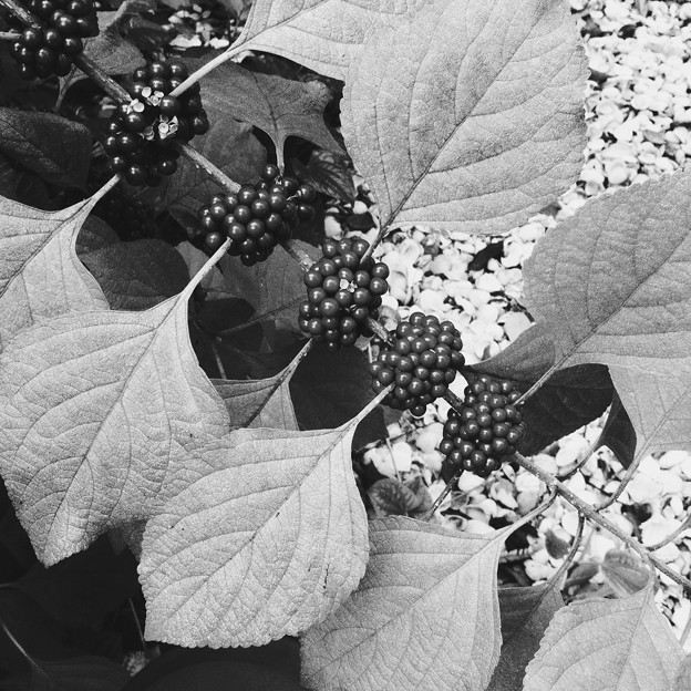 American Beautyberry II 9-3-17