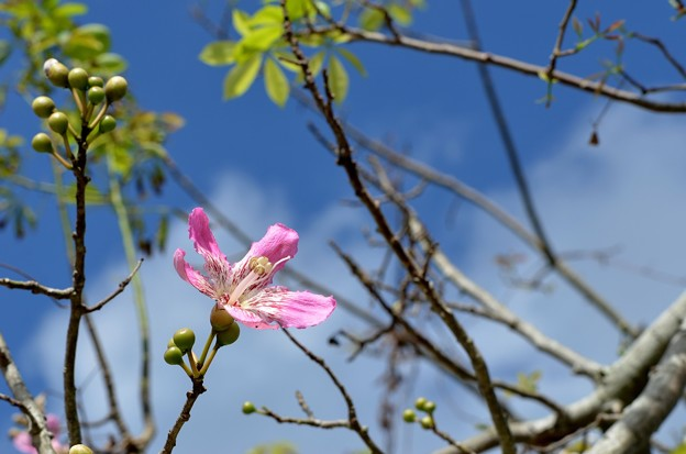 Silk Floss Tree II 10-1-17