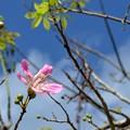 写真: Silk Floss Tree II 10-1-17