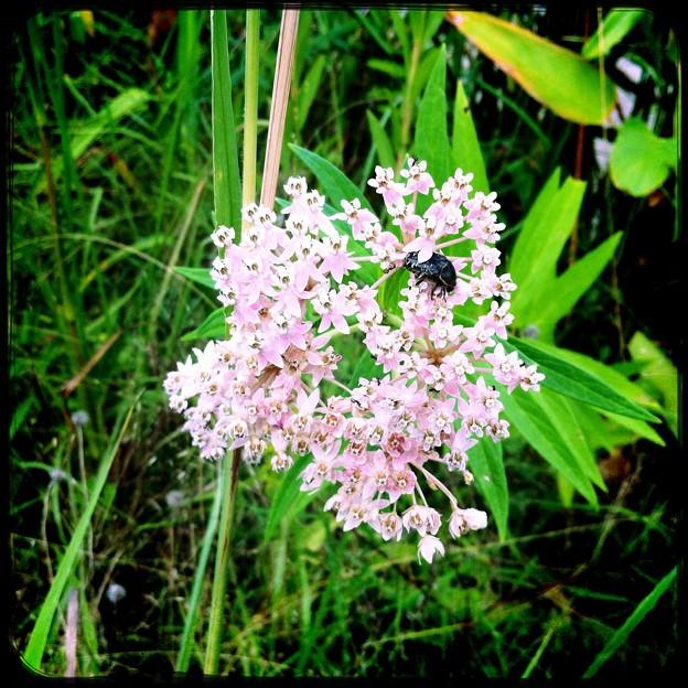 Photos: Swamp Milkweed II 9-3-17