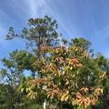 南フロリダで紅葉??