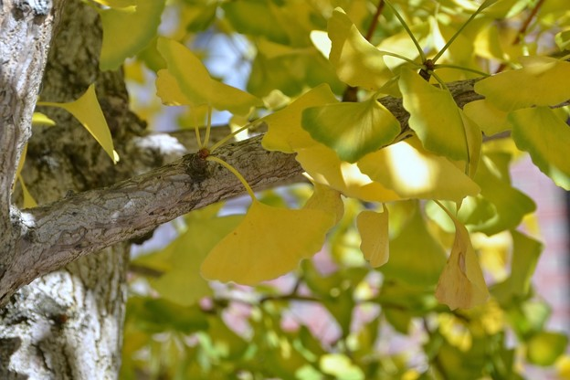 Gingko and the Light 10-18-17