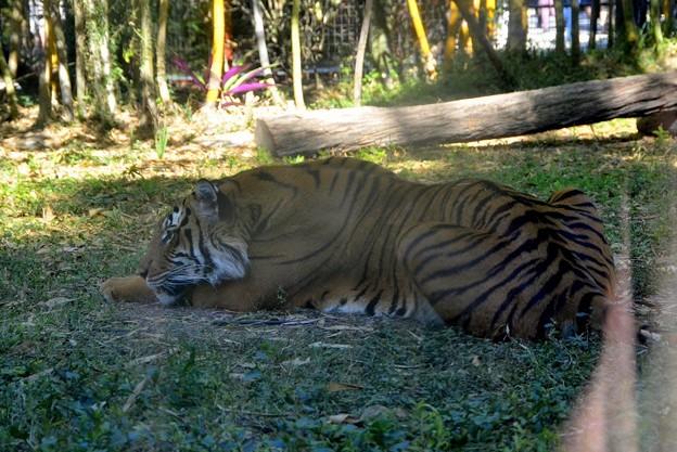 Malayan Tiger 1-6-18