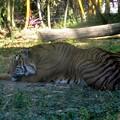 Photos: Malayan Tiger 1-6-18