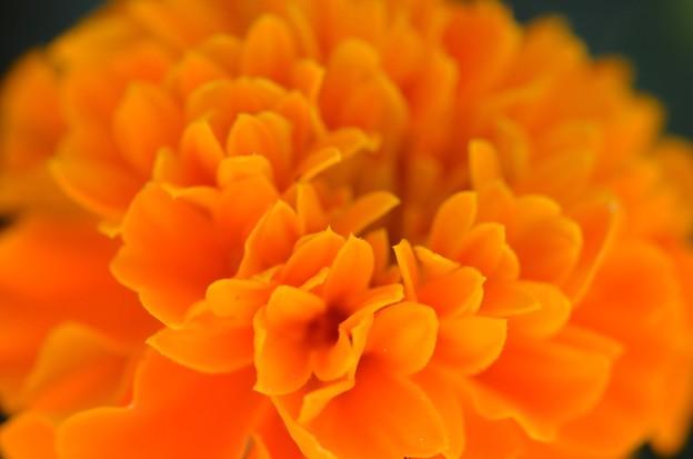 Orange Marigold 12-3-17