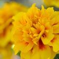 Photos: Yellow Marigolds 12-3-17