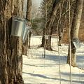 写真: Maple Sap Buckets