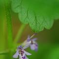 Photos: Ground-Ivy