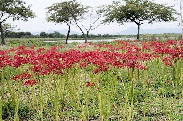 「児島湖花回廊」のヒガンバナ