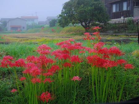 霧の朝のヒガンバナ
