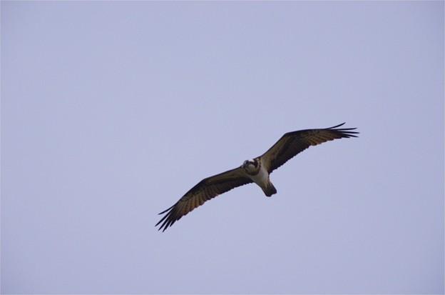 飛翔する児島湖のミサゴ
