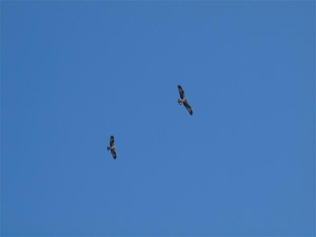 児島湖の上空を舞うミサゴたち