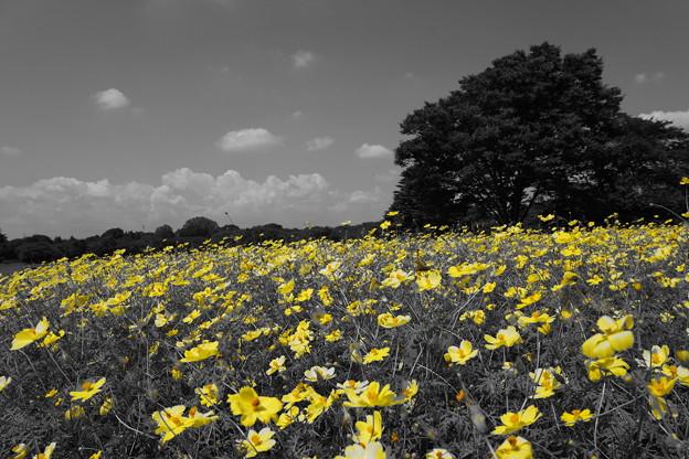 黄色いコスモスが広がる晩夏
