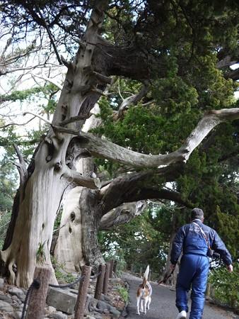天然記念物ビャクシンの木と父子