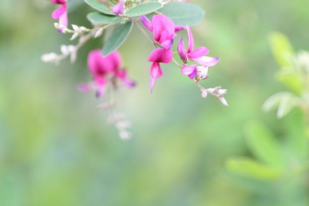 写真: 萩の花