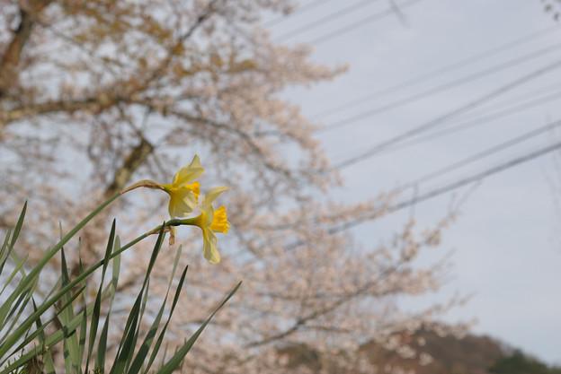 春の陽気 (4) 2011年 4月 水仙と春
